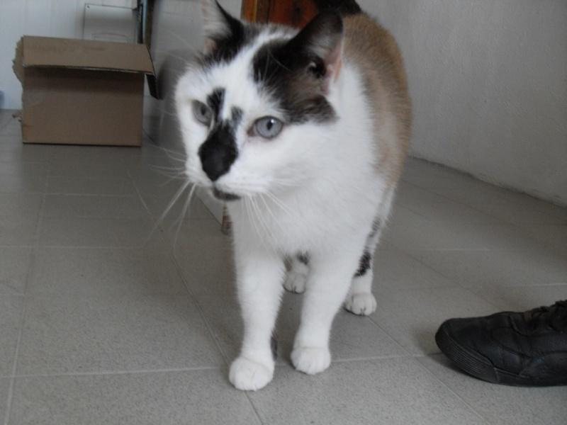 FELIX  CHat male en fourrière né  29/09/2004  adopté par LA CHATAIGNERAIE (37) Sdc13480