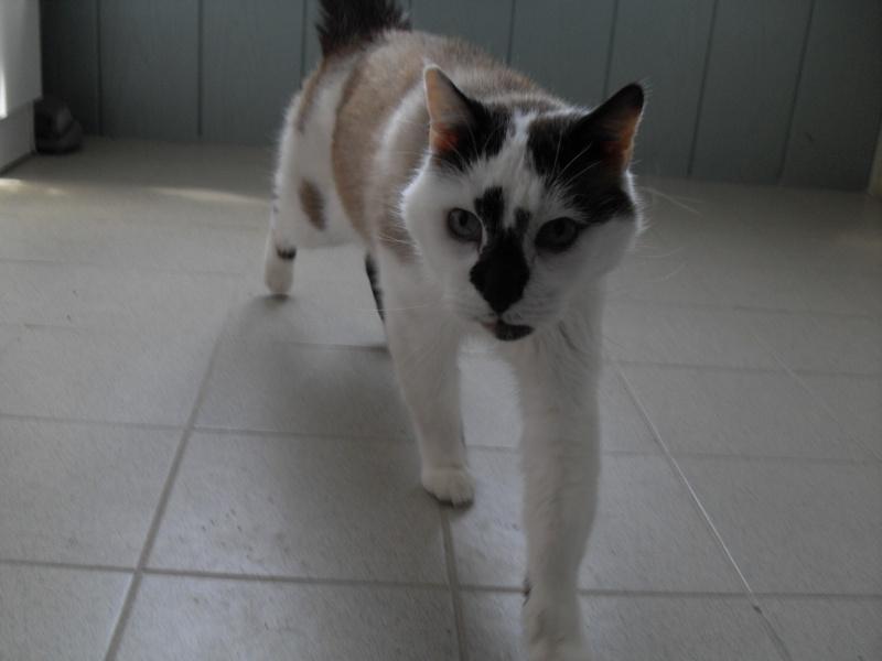 FELIX  CHat male en fourrière né  29/09/2004  adopté par LA CHATAIGNERAIE (37) Sdc13484