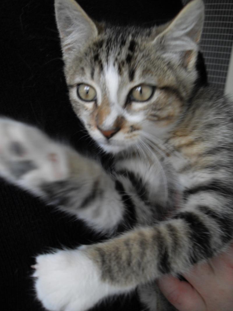 Hadès, chaton tigré et blanc né le 11/05/2012  par NADINE (36) Sdc14928