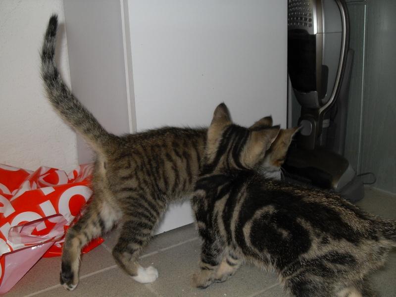Hadès, chaton tigré et blanc né le 11/05/2012  par NADINE (36) Sdc15011