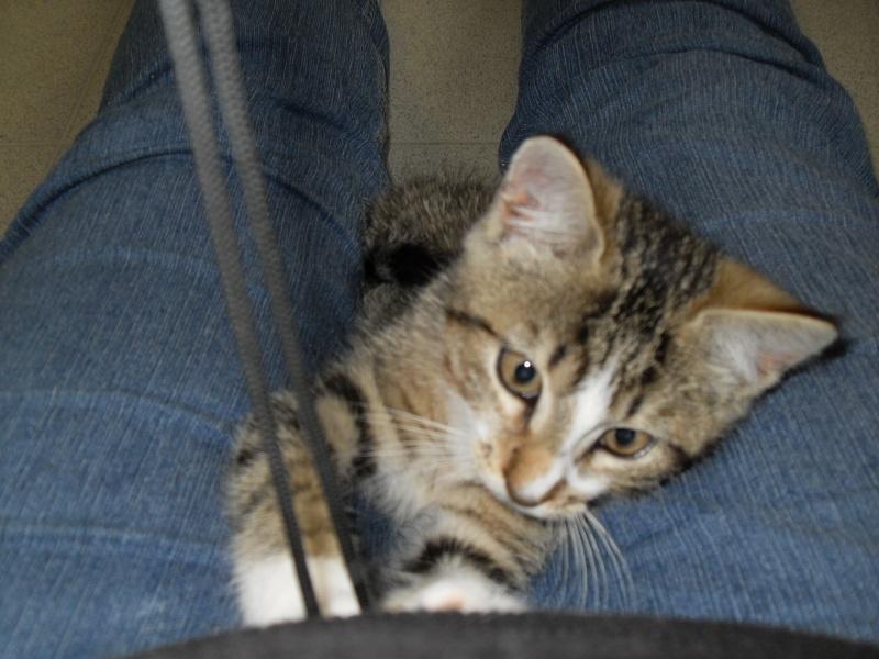 Hadès, chaton tigré et blanc né le 11/05/2012  par NADINE (36) Sdc15016