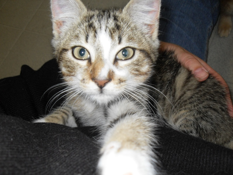 Hadès, chaton tigré et blanc né le 11/05/2012  par NADINE (36) Sdc15021