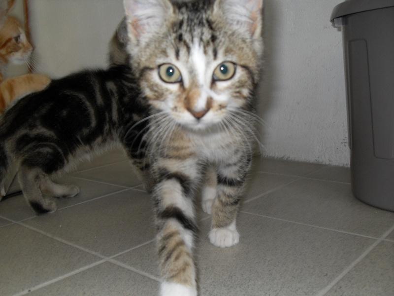 Hadès, chaton tigré et blanc né le 11/05/2012  par NADINE (36) Sdc15022