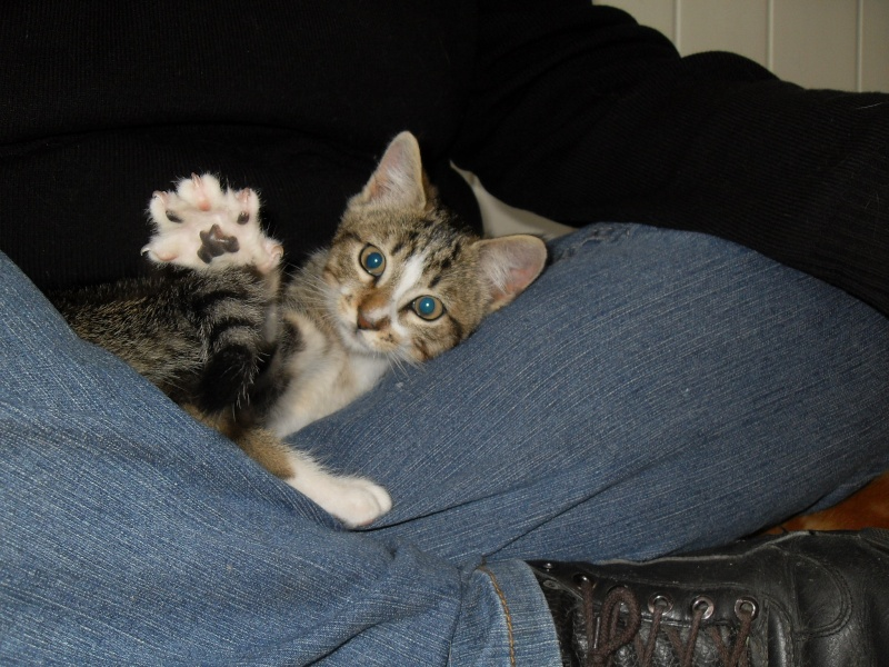 Hadès, chaton tigré et blanc né le 11/05/2012  par NADINE (36) Sdc15024