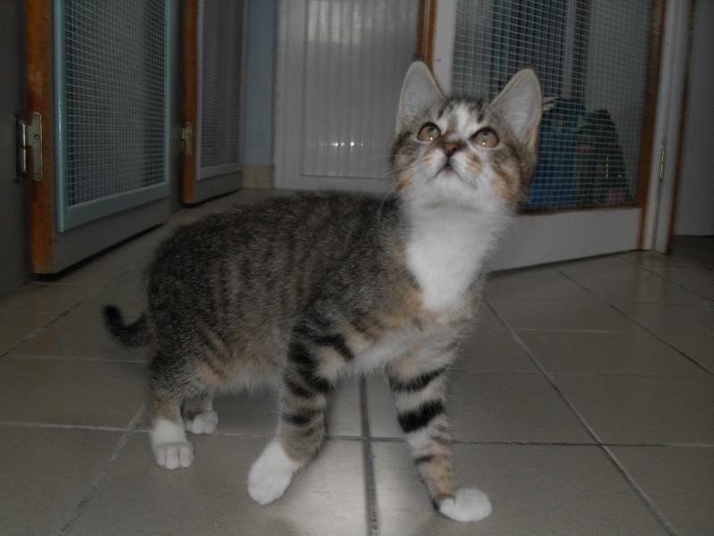 Hadès, chaton tigré et blanc né le 11/05/2012  par NADINE (36) Sdc15237