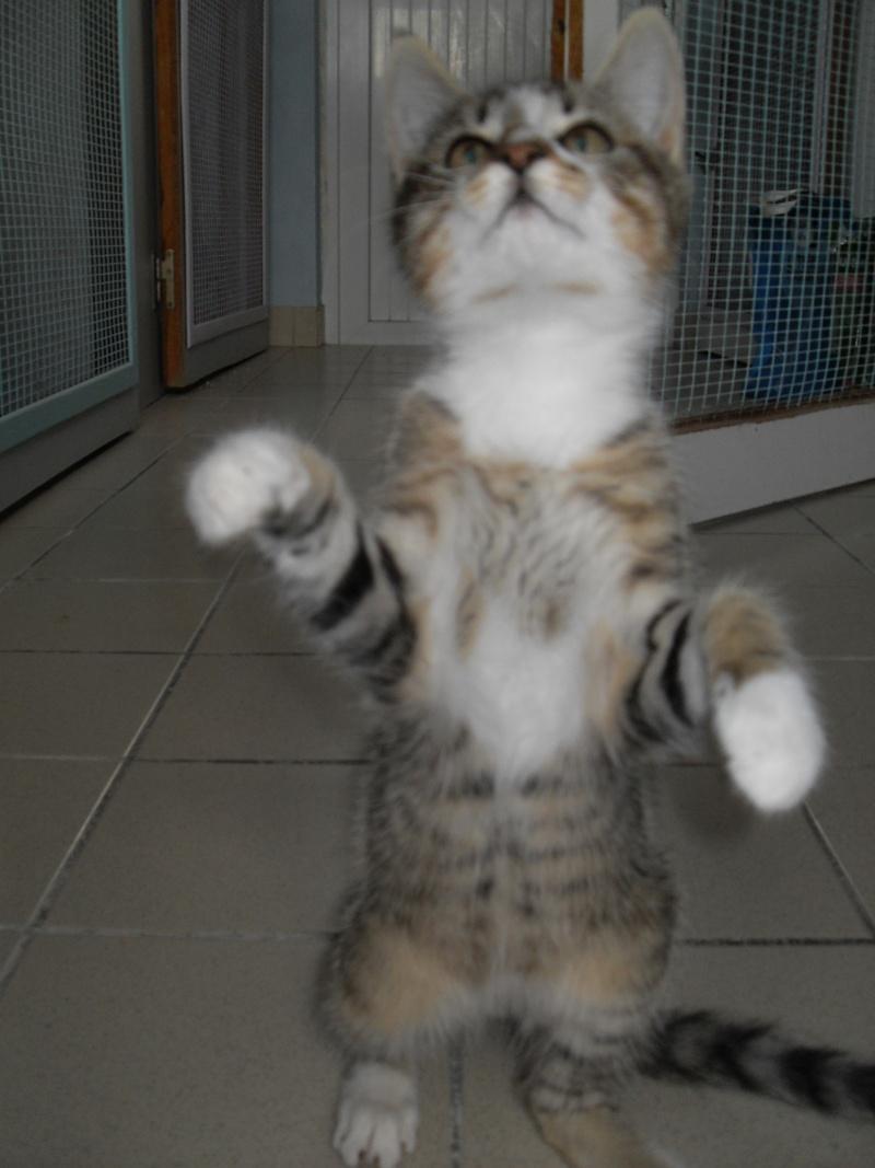 Hadès, chaton tigré et blanc né le 11/05/2012  par NADINE (36) Sdc15240
