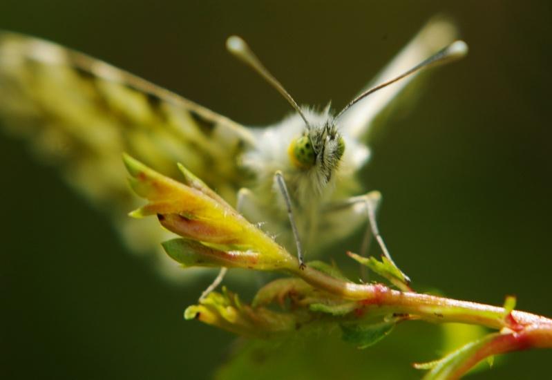 Insectes et papillons Aurore10