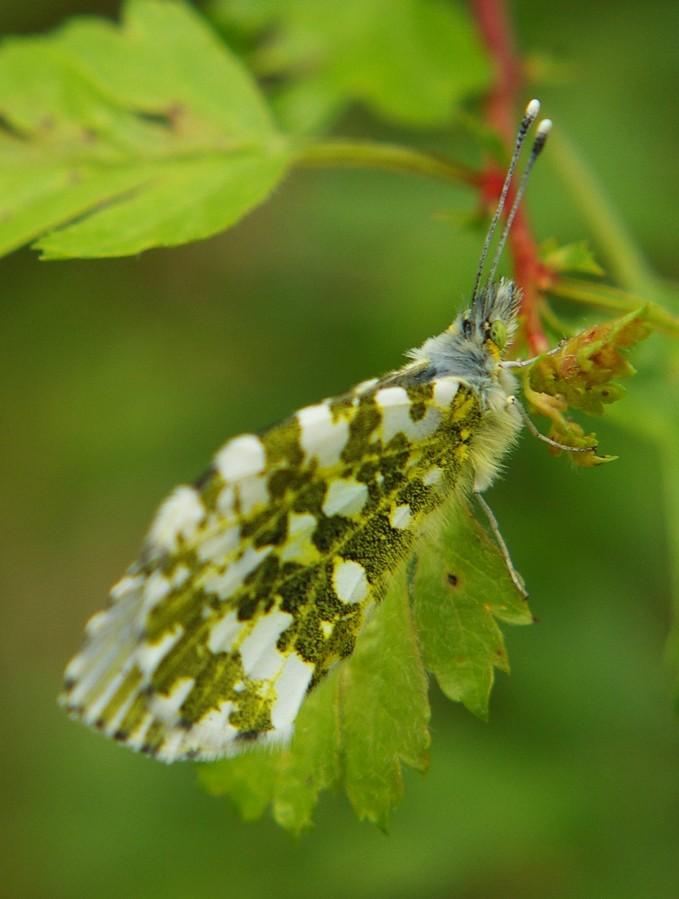 Insectes et papillons Aurore11