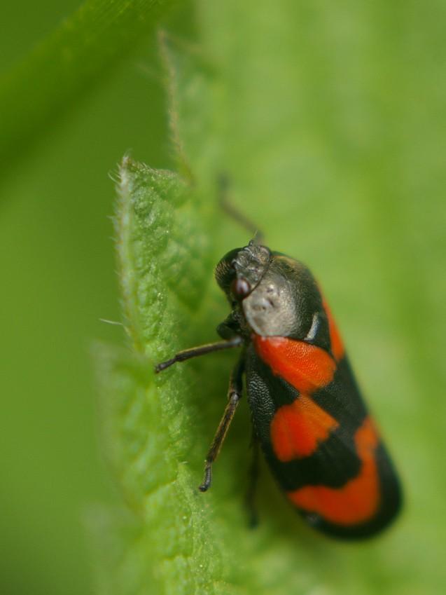 Insectes et papillons Cercop11