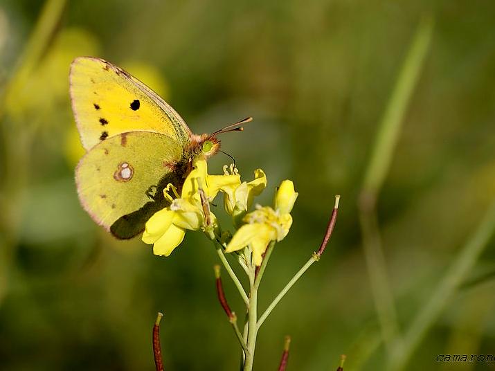 Papillon jaune citron Dsc01213
