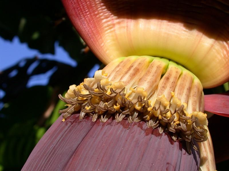 Fleurs de bananier (vie et mort de la fleur : vive le fruit !) Dscn6710