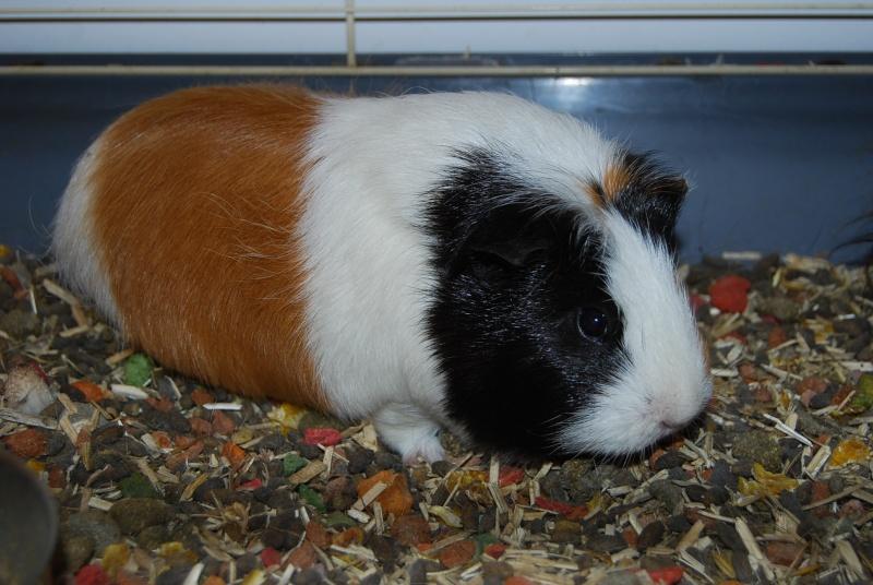 IPSA - Cochon d'inde femelle tricolore à poils lisses Dsc_0118