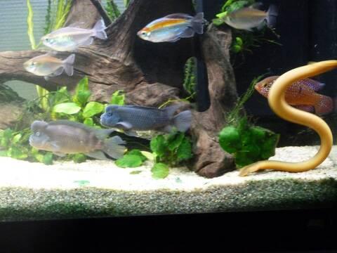 Erpetoichthys calabaricus reproduction (poissons roseaux)