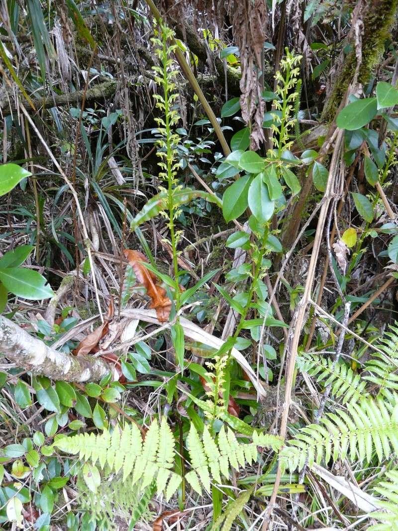 Vendanges tardives Orchid19
