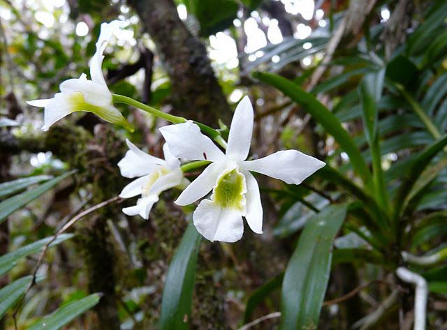 Vendanges tardives Orchid22