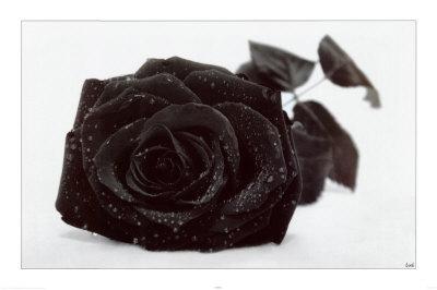 la rose noire Black-10