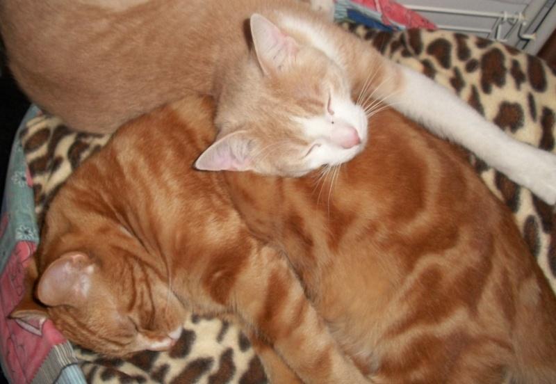 Caramel, roux et blanc, né en décembre 2010, identifié HWX959 100_2817