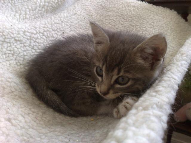 Framboise , chaton femelle née le 10 mai 2011 22062010