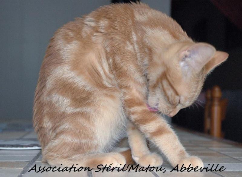Miélo, chat roux, né le 12 mai 2012, identifié JFM367 54857811