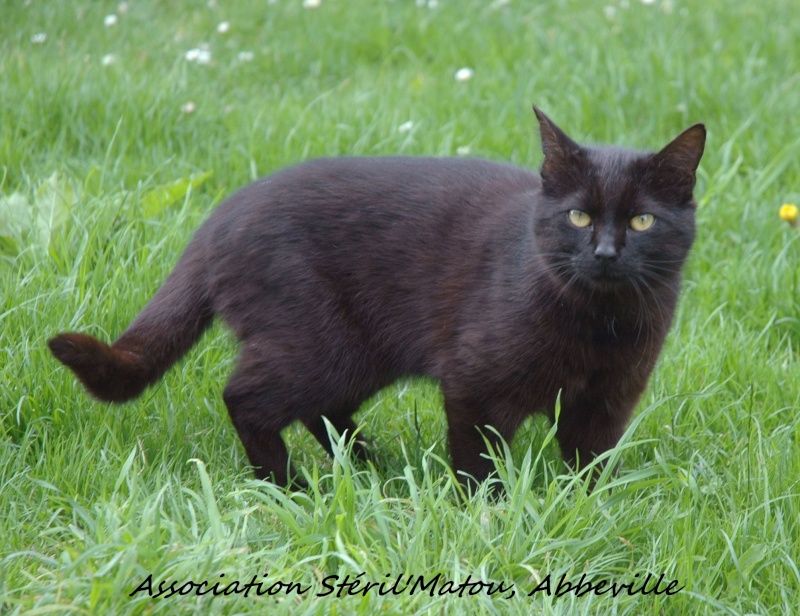 Mikado, chaton mâle noir, né le 1 mai 2011, identifié 250269604307901  Dsc_5318
