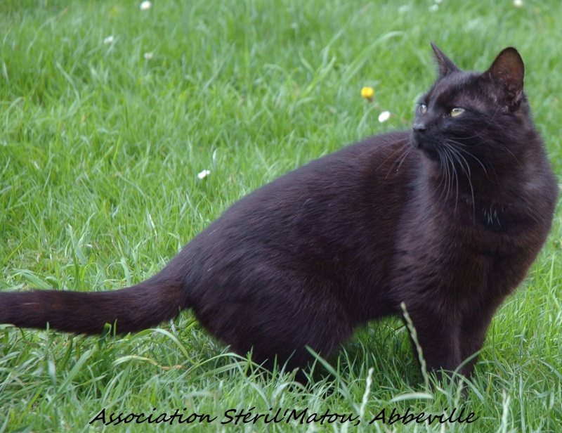 Mikado, chaton mâle noir, né le 1 mai 2011, identifié 250269604307901  Dsc_5319