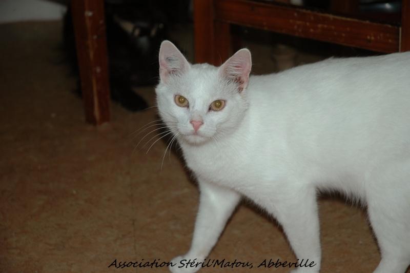 Gibbs, chat mâle blanc, yeux orange, né le 1/01/2011, identifié HWX935  Dsc_5434