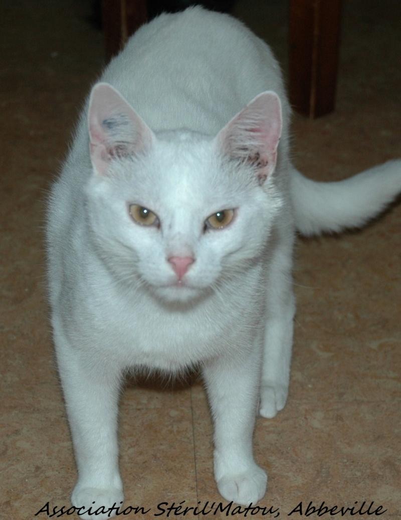 Gibbs, chat mâle blanc, yeux orange, né le 1/01/2011, identifié HWX935  Dsc_5435