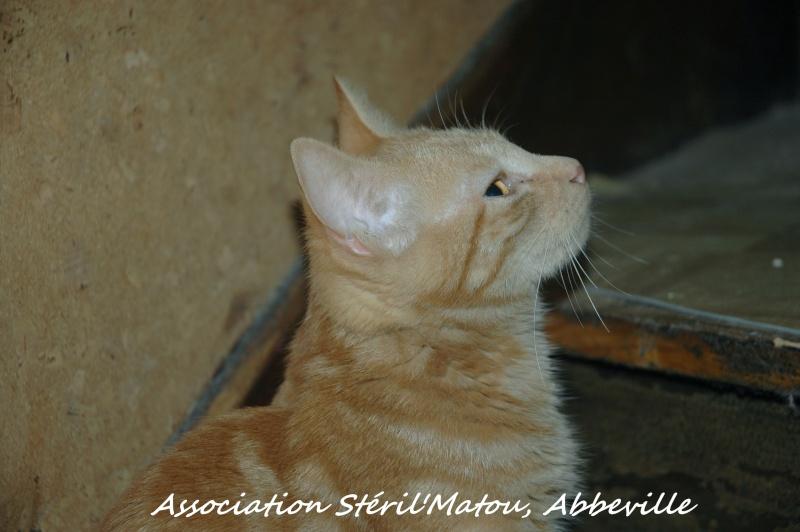 Miélo, chat roux, né le 12 mai 2012, identifié JFM367 Dsc_7924