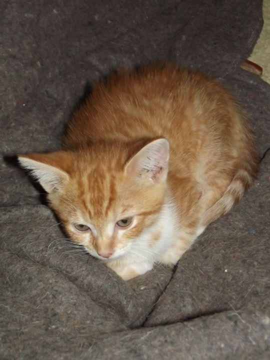 Titus l'intrépide, Chaton mâle, roux, né le 20 mai 2011 Dscf1410