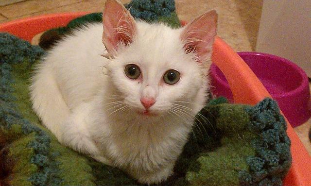 Grace, chaton blanc femelle, née le 1 mai 2011 Imag0010