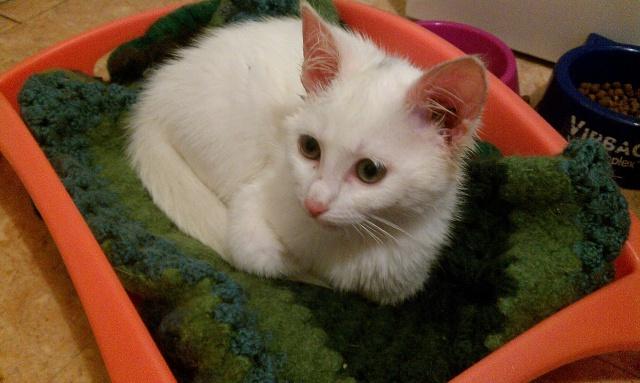 Grace, chaton blanc femelle, née le 1 mai 2011 Imag0011