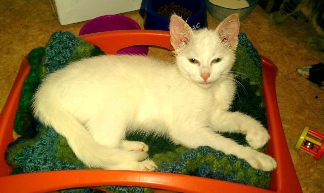 Grace, chaton blanc femelle, née le 1 mai 2011 Imag0012