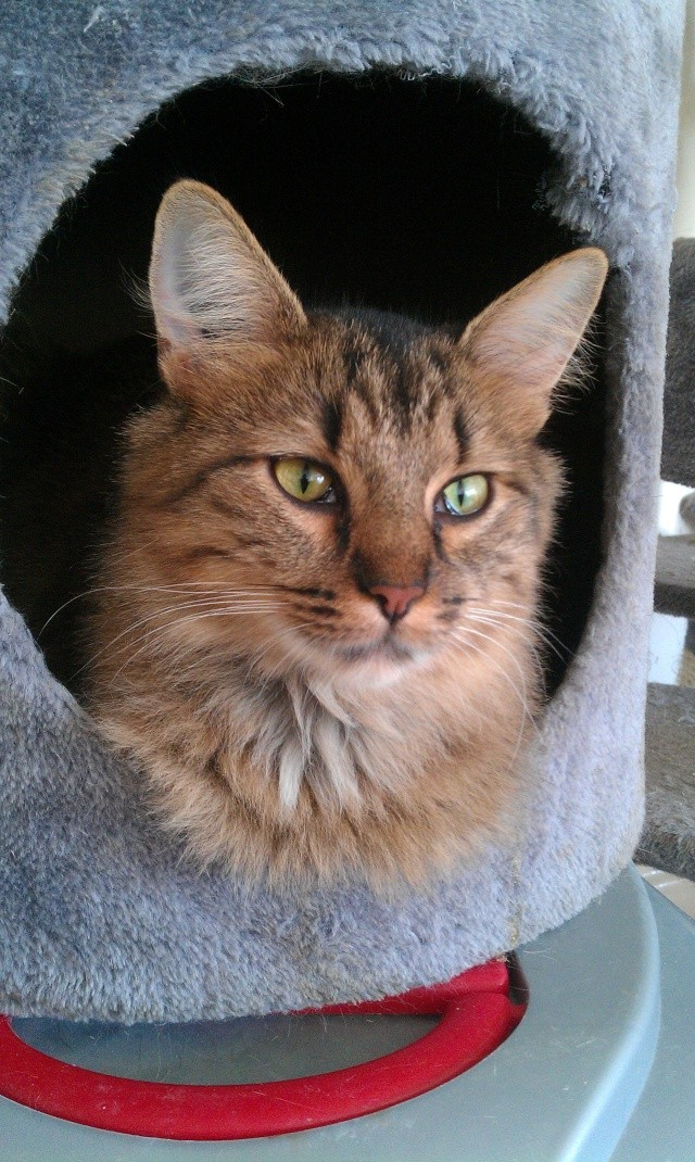 Elsa, chatte tigré angora, née en 2008 Imag0810