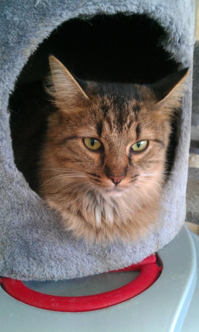 Elsa, chatte tigré angora, née en 2008 Imag0811