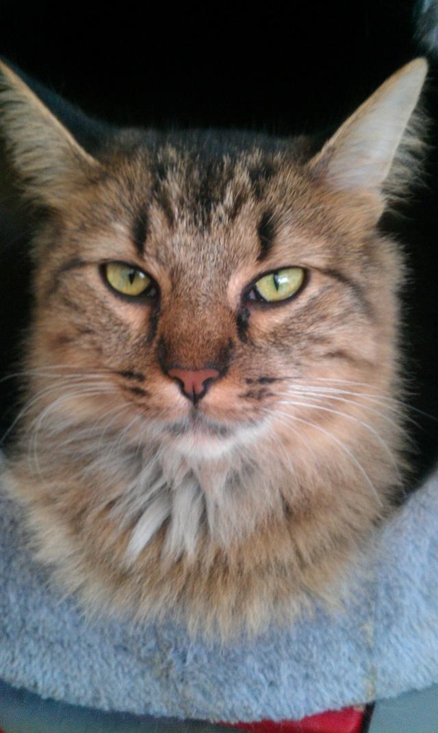 Elsa, chatte tigré angora, née en 2008 Imag0812