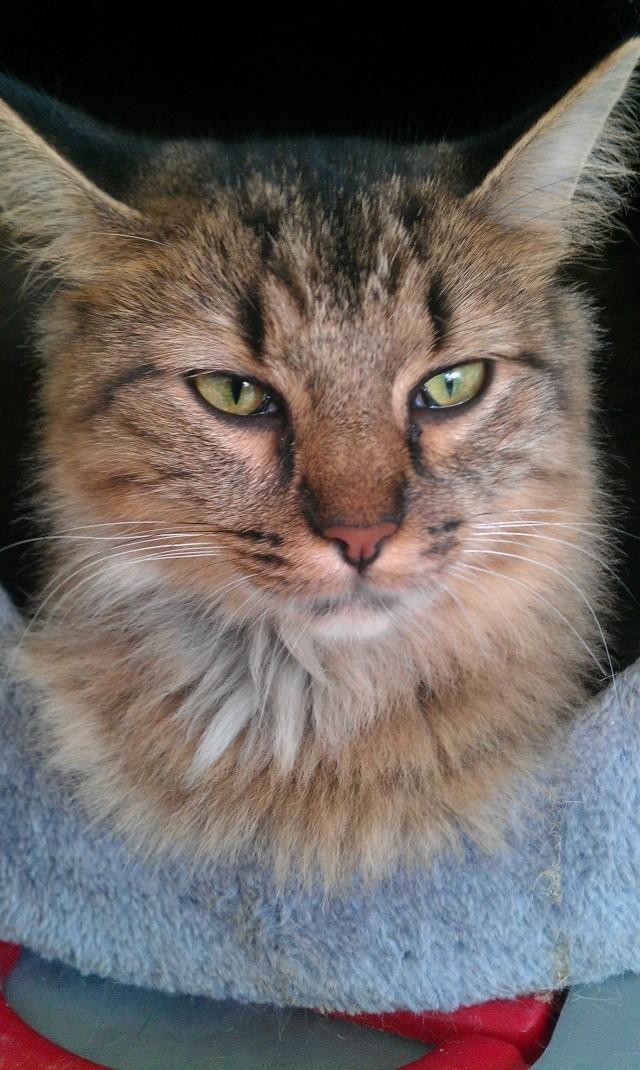 Elsa, chatte tigré angora, née en 2008 Imag0813