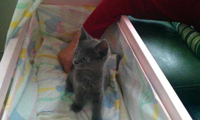 Giulia, chaton femelle croisée chartreux, né le 1 septembre 2011 Imag1010