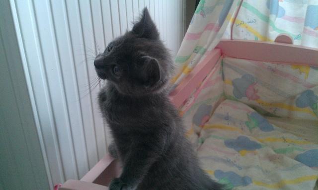 Giulia, chaton femelle croisée chartreux, né le 1 septembre 2011 Imag1011