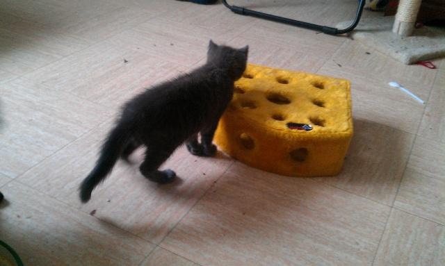 Giulia, chaton femelle croisée chartreux, né le 1 septembre 2011 Imag1012
