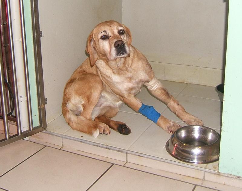 URGENT ASSOCIATION pour chienne BELLA x labrador sable trouvée blessée La Chevrolière 44 besoin examens et soins 001f10