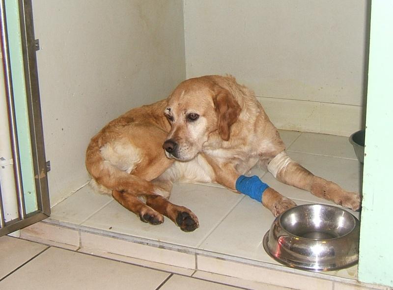 URGENT ASSOCIATION pour chienne BELLA x labrador sable trouvée blessée La Chevrolière 44 besoin examens et soins 002f10