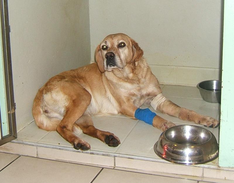 URGENT ASSOCIATION pour chienne BELLA x labrador sable trouvée blessée La Chevrolière 44 besoin examens et soins 003f10