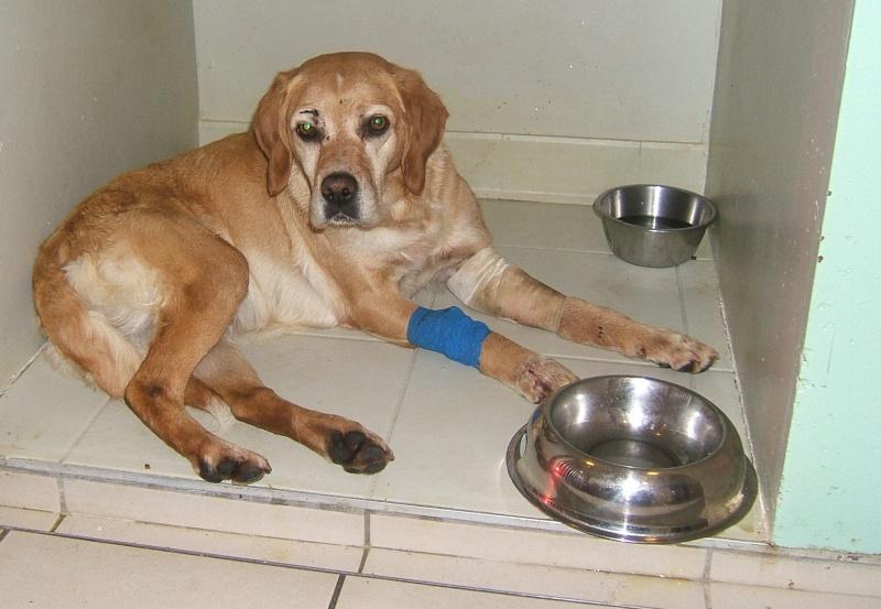 URGENT ASSOCIATION pour chienne BELLA x labrador sable trouvée blessée La Chevrolière 44 besoin examens et soins 004f10