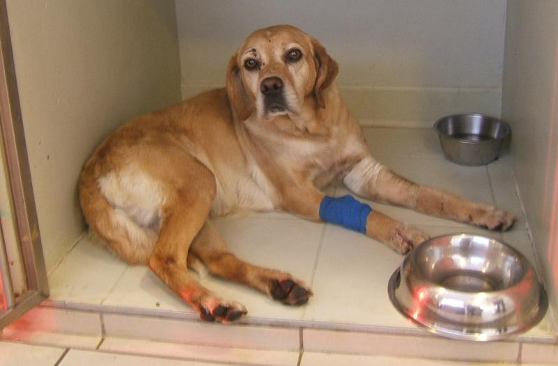 URGENT ASSOCIATION pour chienne BELLA x labrador sable trouvée blessée La Chevrolière 44 besoin examens et soins 005f10
