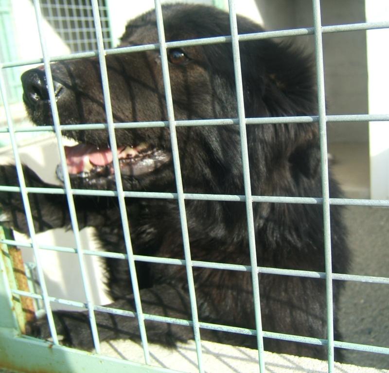 GOOGLE jeune BERGER  BELGE (m) noir à poils longs - sorti fourrière 44 - 02211