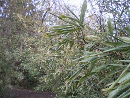 Dégats au Jardin après le gèle... Bambou10