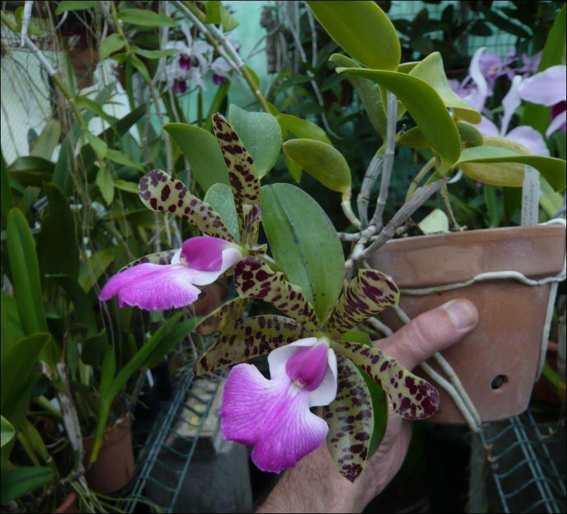 Cattleya aclandiae - Mettre sur plaque ? Cattl126