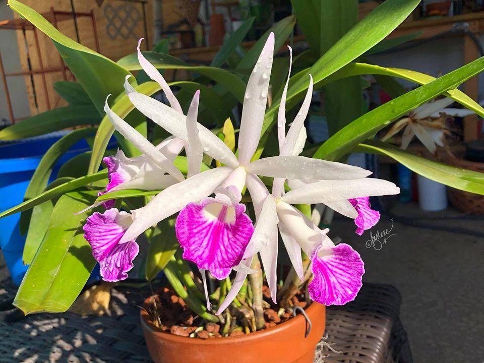 Variations de la couleur des fleurs Florai10