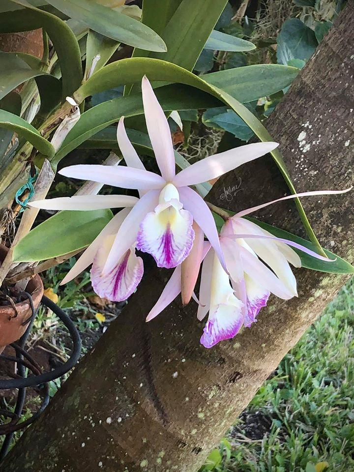 Variations de la couleur des fleurs Florai11