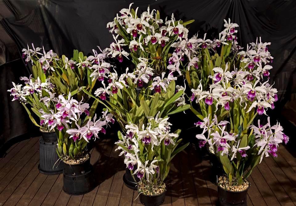 Culture de Cattleya purpurata chez William Dobson Laelia17